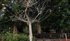 2021年05月20日 斧山公園內的兩棵樹木患上褐根病